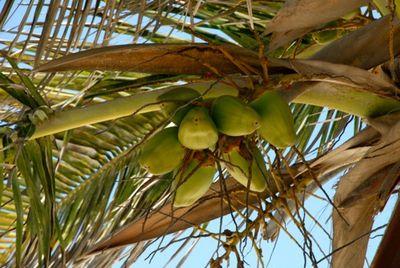 Cocosontree